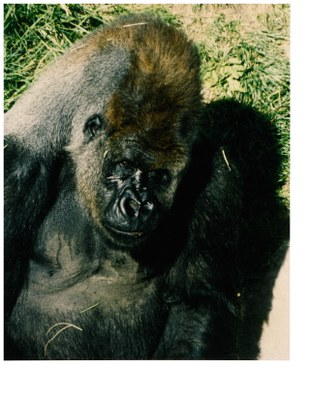 hogel zoo gorilla 1992