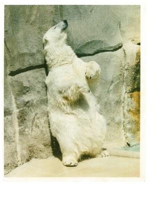 hogel zoo polar bear 1992